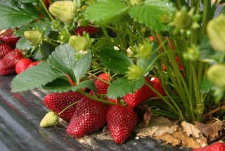 StrawberriesGrowing