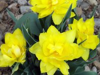 YellowTulip